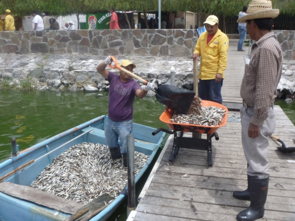 Over 82 tonnes of dead fish have been hauled from Lake Cajititlán this week.