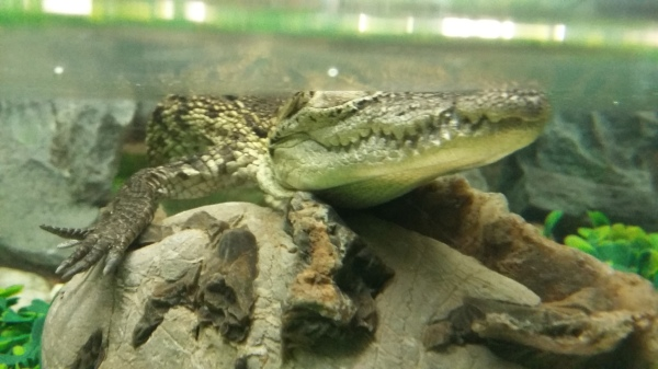 A baby Morelet's crocodile costs $200 in a Guadalajara pet shop.