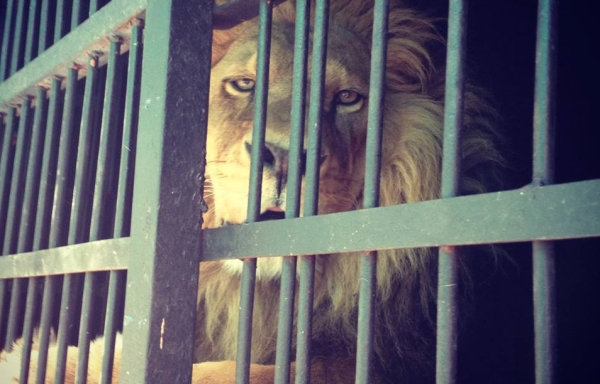 Lions can be purchased legally at a Guadalajara pet shop for $4,000 to $7,000. Photo by LIBERO Santuario.