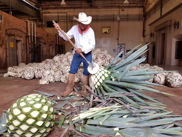 A jimador demonstrates how to cut the leaves from the agave piña at Tequila Patrón.